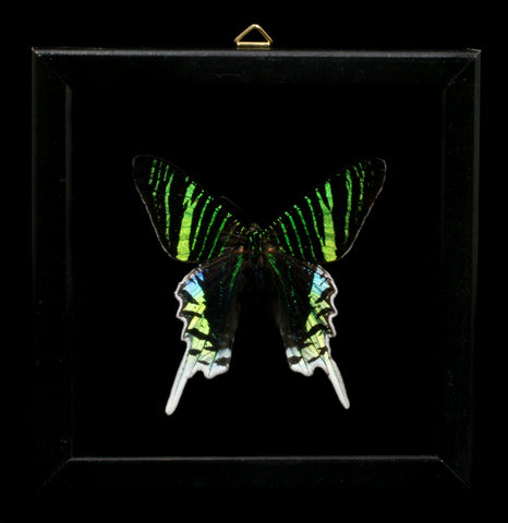 Double glass framed Urania leilus moth - PaxtonGate