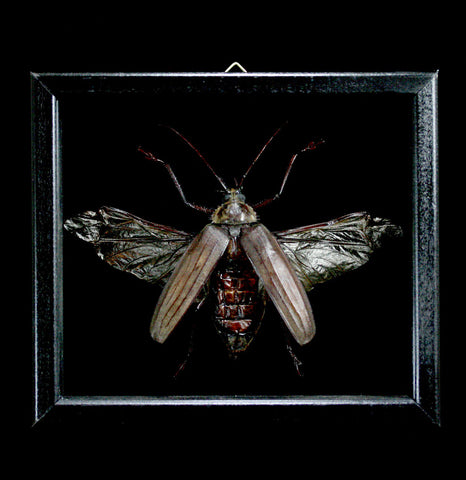Double Glass Framed Xixuthrus Microcerus-Insects-Al & Judy Scramstad-PaxtonGate