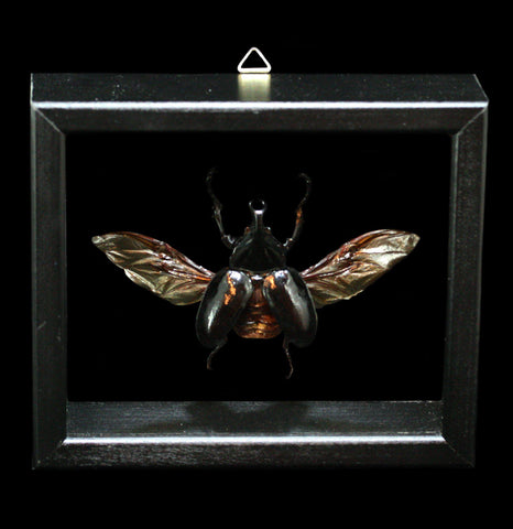 Framed Xylotrupes Gideon Beetle in Double Glass Frame - PaxtonGate