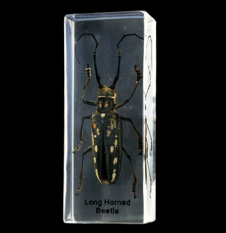 Long Horn Beetle in Acrylic - PaxtonGate