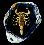 Brown Scorpion in Resin-Insects-Real Insect Company-PaxtonGate