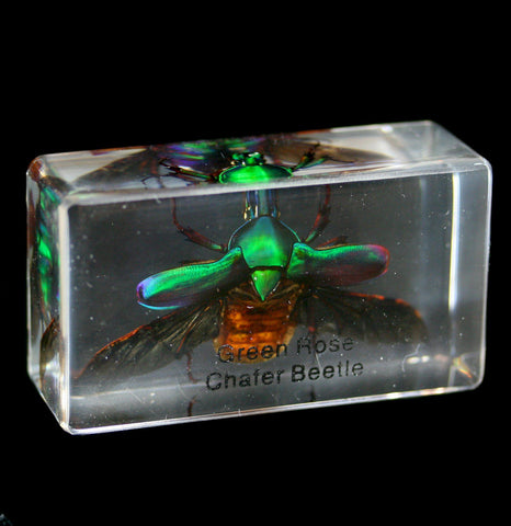 Spread Green Chafer Beetle In Acrylic-Insects-Real Insect Company-PaxtonGate