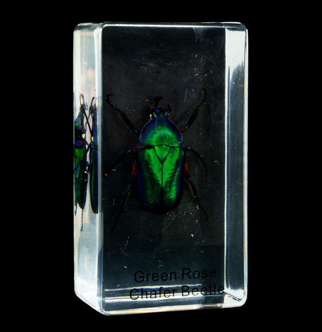 Green Rose Chafer Beetle In Acrylic - PaxtonGate