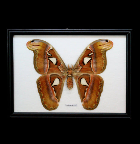 Riker Mounted Atlas Moth - PaxtonGate