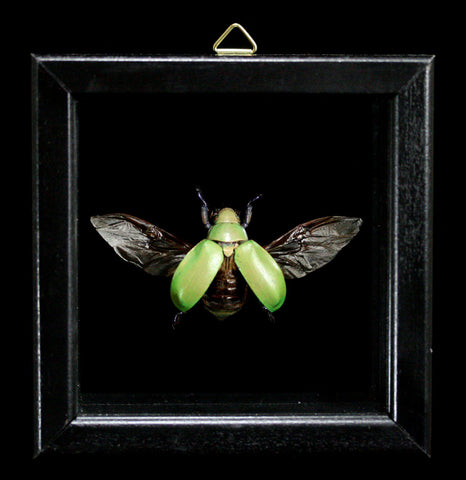 Double Glass Framed Chrysina Erubescens-Insects-Al & Judy Scramstad-PaxtonGate