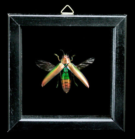 Double Glass Framed Chrysochroa Aurora Beetle-Insects-Al & Judy Scramstad-PaxtonGate