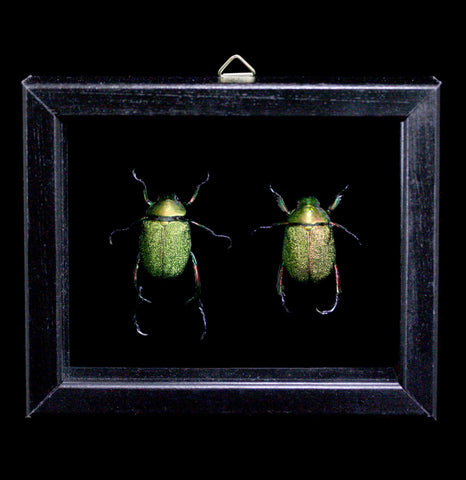 Two Double Glass Framed Chrysochroa Chrysochroa Beetles-Insects-Al & Judy Scramstad-PaxtonGate