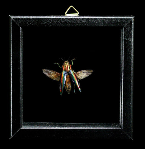 Double Glass Framed Cyphogastra Javanica Beetle-Insects-Al & Judy Scramstad-PaxtonGate