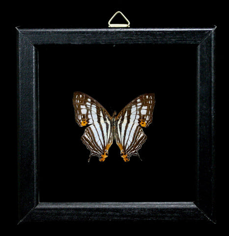 Double Glass Framed Cyrestis Maenalis Butterfly-Insects-Al & Judy Scramstad-PaxtonGate