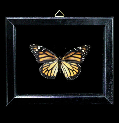Double Glass Framed Danaus Plexippus Butterfly-Insects-Al & Judy Scramstad-PaxtonGate