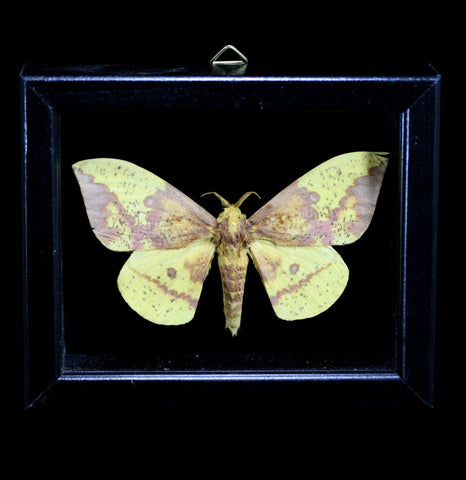 Double Glass Framed Eacles Imperialis Moth-Insects-Al & Judy Scramstad-PaxtonGate