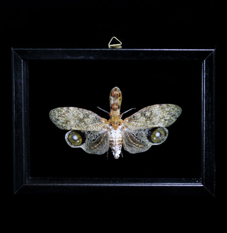 Double Glass Framed Fulgora Laternaria-Insects-Al & Judy Scramstad-PaxtonGate