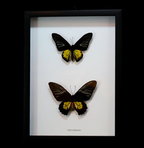 Two Framed Troides Oblongomaculatus Butterflies-Insects-Butterflies By God-PaxtonGate