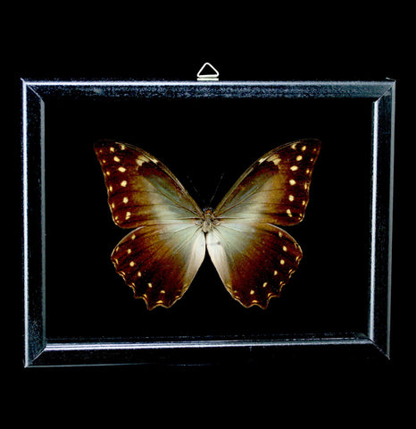 Double Glass Framed Morpho Hercules Butterfly - PaxtonGate