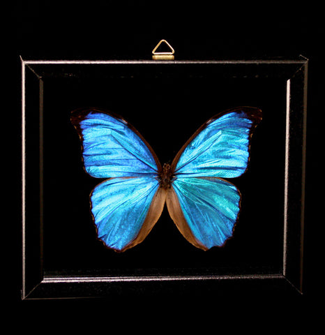 Double Glass Framed Morpho Melelaus Butterfly - PaxtonGate