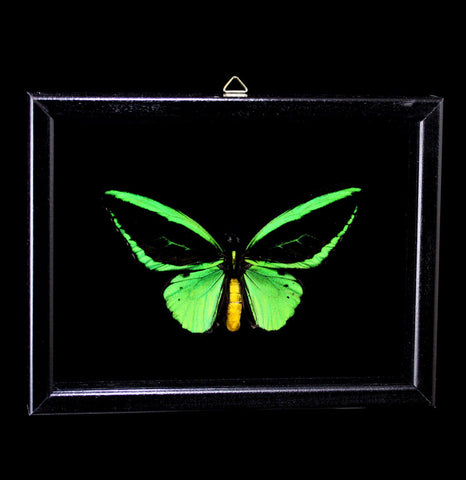Double glass framed Ornithoptera Priamus Poseidon Butterfly - PaxtonGate