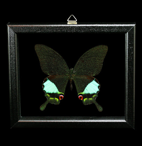 Double Glass Framed Papilio Karna Karna Butterfly - PaxtonGate