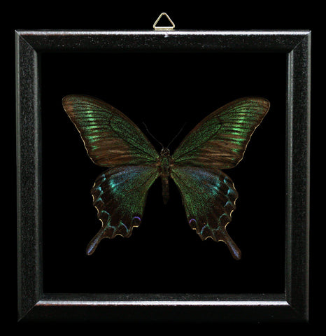 Double Glass Framed Papilio Maackii Butterfly - PaxtonGate