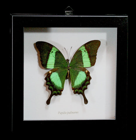Framed Papilio Palinurus Butterfly - PaxtonGate