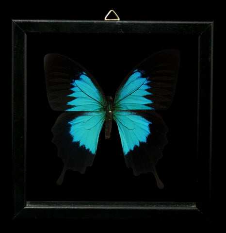Double Glass Framed Papilio Ulysses Butterfly-Insects-Al & Judy Scramstad-PaxtonGate