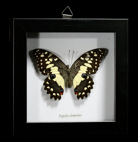 Framed Papilio Demodocus Butterfly - PaxtonGate