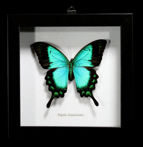 Framed Papilio Lorquinianas Butterfly-Insects-Butterflies By God-PaxtonGate