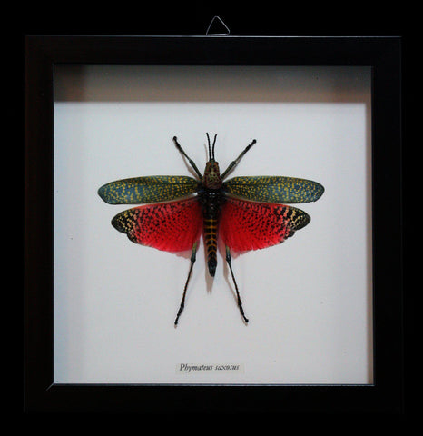 Framed Phymateus Saxosus in Shadowbox Frame - PaxtonGate