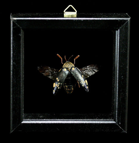 Double Glass Framed Sternocera Castanea Beetle-Insects-Al & Judy Scramstad-PaxtonGate