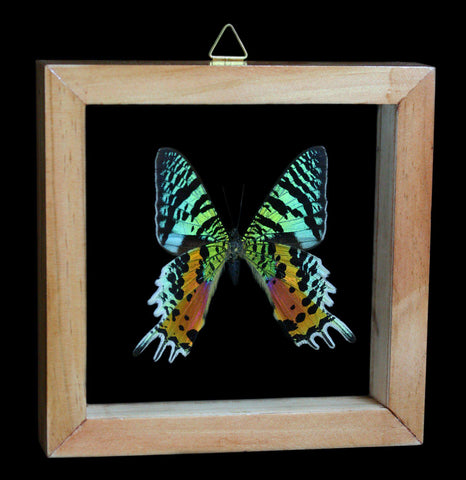 Double Glass Framed Sunset Moth - PaxtonGate
