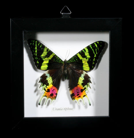 Sunset Moth (urania ripheus) Framed-Insects-Butterflies By God-PaxtonGate
