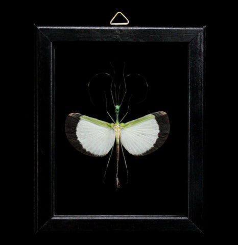 Double Glass Framed Male Tagesoidea Nigrofasciata-Insects-Al & Judy Scramstad-PaxtonGate