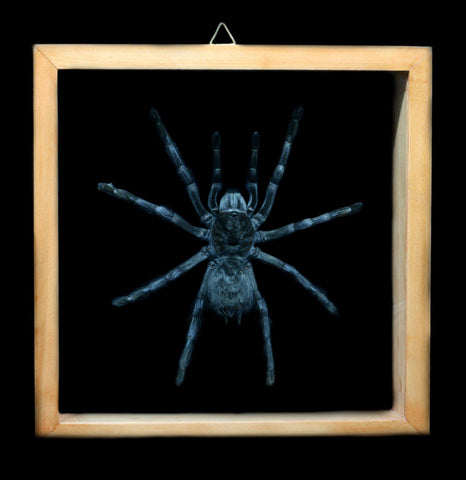 Double Glass Framed Tarantula - PaxtonGate