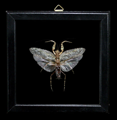 Double Glass Framed Theopompa Servillei-Insects-Al & Judy Scramstad-PaxtonGate