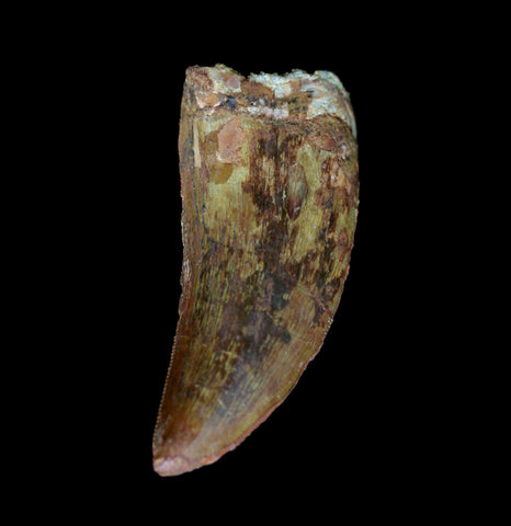 Carcharodontosaurus Fossil Tooth Specimen A-Fossils-Moussa-PaxtonGate