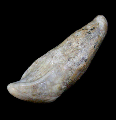 Cave Bear Incisor - PaxtonGate