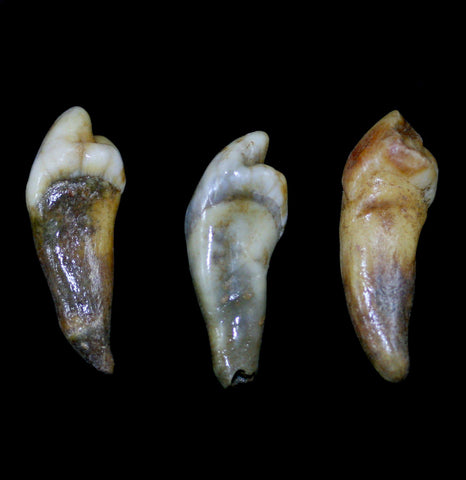 Cave Bear Incisor-Fossils-Nord Fossil-PaxtonGate