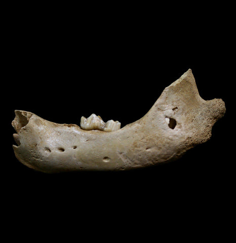 Fossilized Juvenile Cave Bear Lower Jaw-Fossils-Nord Fossil-PaxtonGate