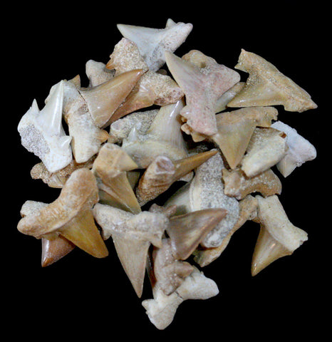 Small Otodus Obliquus Fossil Shark Teeth - PaxtonGate