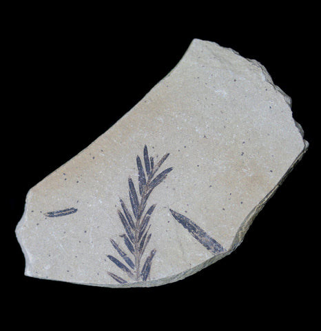 Metasequoia Redwood Leaf Fossil-Fossils-Lowcountry Geologic-PaxtonGate