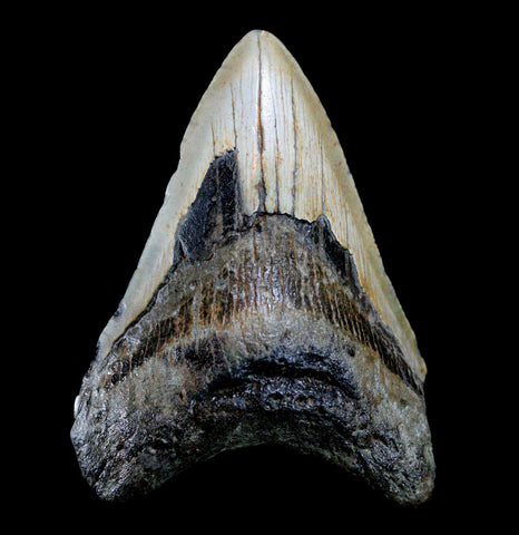Megalodon Tooth, Specimen B-Fossils-JT Shark Teeth Co-PaxtonGate