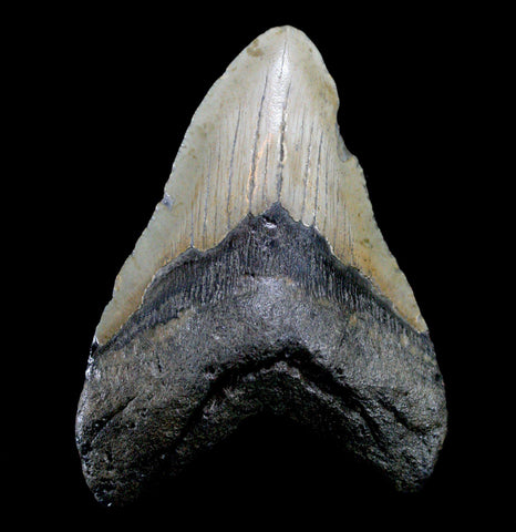 Megalodon Tooth, Specimen C-Fossils-JT Shark Teeth Co-PaxtonGate