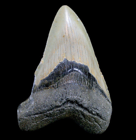 Megalodon Tooth, Specimen F-Fossils-JT Shark Teeth Co-PaxtonGate