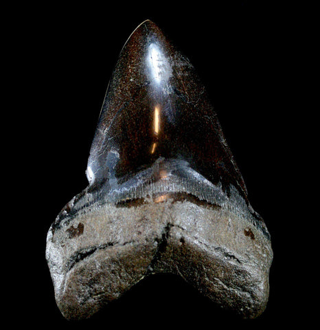 Megalodon Tooth, Specimen I-Fossils-JT Shark Teeth Co-PaxtonGate