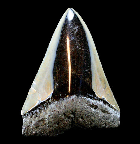 Megalodon Tooth, Specimen K-Fossils-JT Shark Teeth Co-PaxtonGate