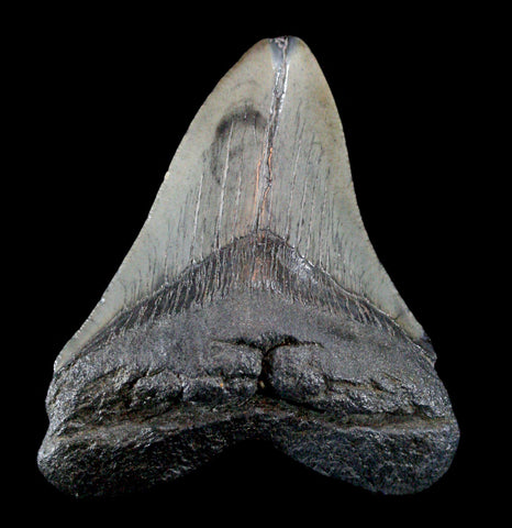 Megalodon Tooth, Specimen L-Fossils-Steve''s Fossil Shark Teet-PaxtonGate