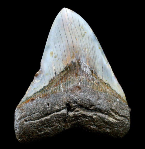 Megaladon Tooth, Specimen P-Fossils-Steve''s Fossil Shark Teet-PaxtonGate