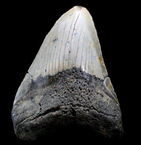 Megaladon Tooth, Specimen Q-Fossils-Steve''s Fossil Shark Teet-PaxtonGate
