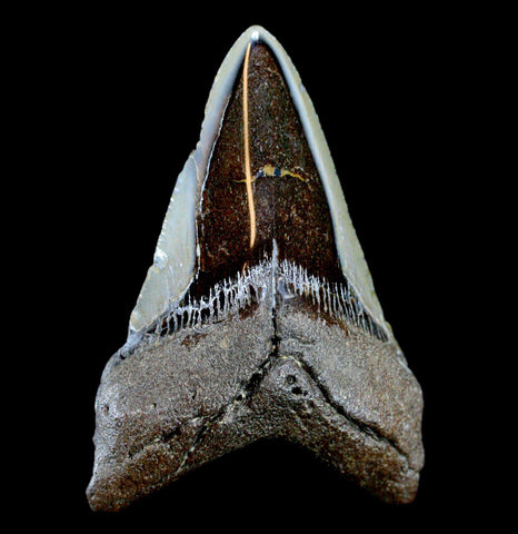 Megalodon Tooth, Specimen G-Fossils-JT Shark Teeth Co-PaxtonGate