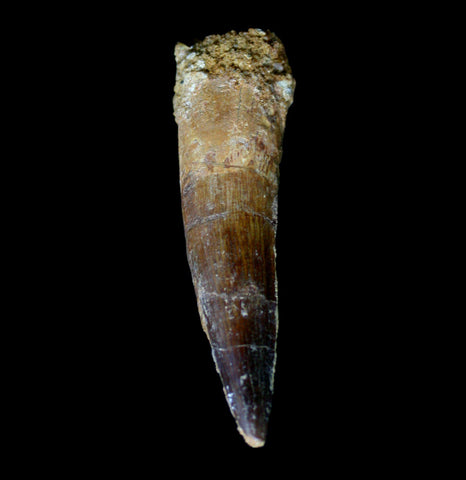 Spinosaurus Dinosaur Tooth Specimen A-Fossils-Moussa-PaxtonGate
