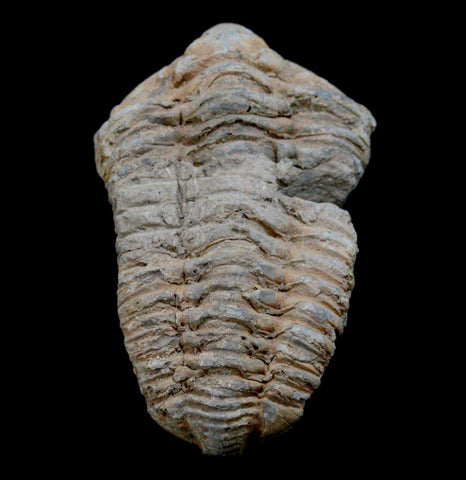 Trilobite Flexicalymene Fossil - PaxtonGate
